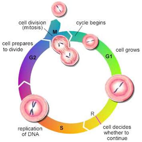Cancer and Mitosis Essay - 7th Grade Life Science TpT