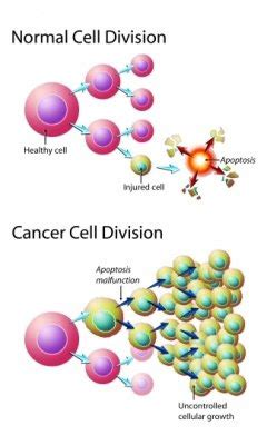 Essay of mitosis and cancer